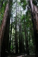 Muir Woods by xspes