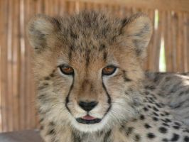Cheetah Cub at Spier by DannyBlue