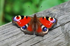 Peacock butterfly,(Inachis) by cardshark01