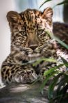 Leopard Cub by DGPhotographyjax