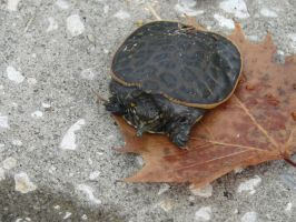 Baby Floridian Soft-Shell Turtle by Lirshtah8