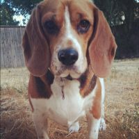 Beagle :) by Cranberry413
