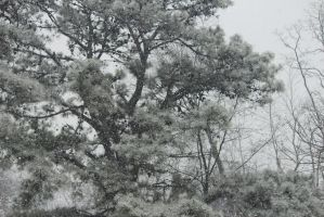 Flurries and Pines by Laur720