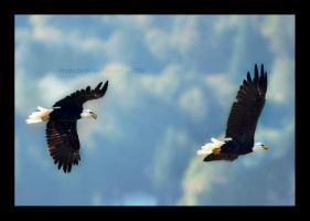 Bald Eagles by Violet-Kleinert
