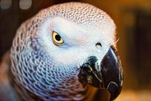African Grey Parrot Max by Cyberax666