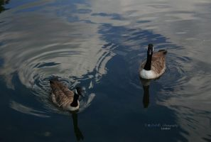 Ducks by Nohition