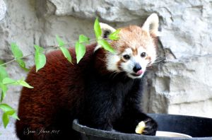 Red Panda - St. Louis Zoo, Missouri by AlaskaGrl