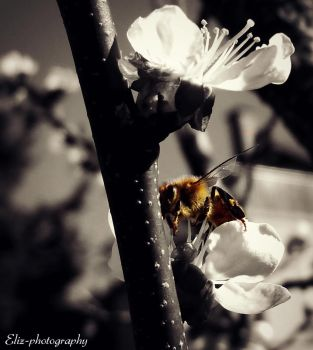 Bee by Eliz-photography