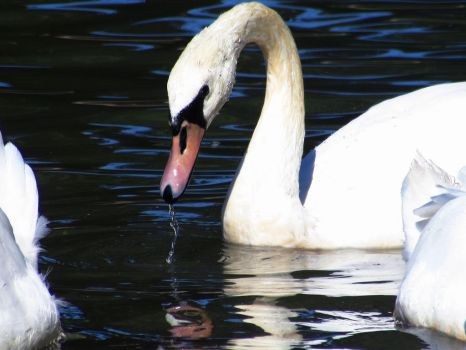 Swan drinking from the lake by adenisej25