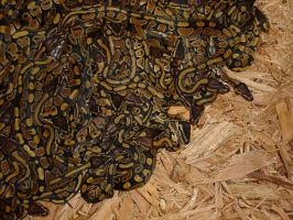 BallPython horde - animalstock by slither-club
