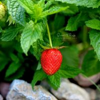 Strawberry .. by ST-ST