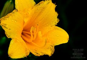 Lilly by aheria