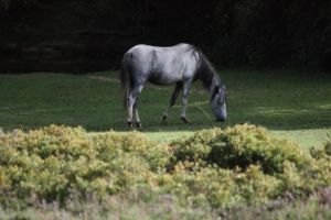 New forest horse 003 by eldris-stock