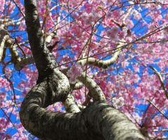 weeping cherry by GregGregory