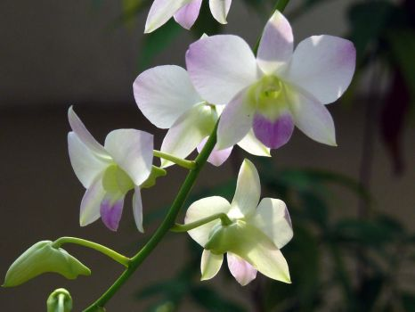 My Orchid36 by Otoff