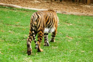 21 Tiger from back by Chunga-Stock