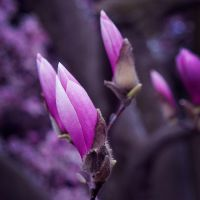 Magnolia by BlackRoomPhoto