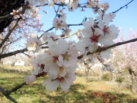 almond blossom by SoraMP