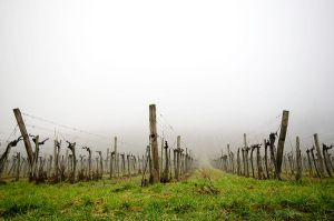 Winterfog Vineyard by roarbinson