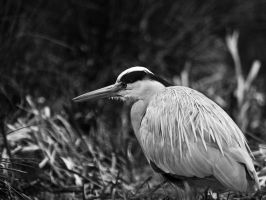 Grey Heron 01 - Mar 12 by mszafran