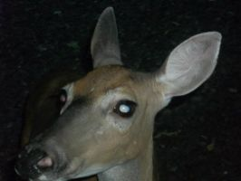 Deer on our porch! by Anime210freak