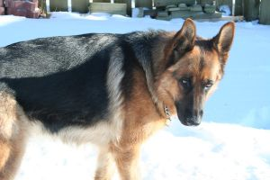 German Shepherd Stock 016 by EssenceOfPerception