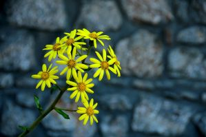 yellow flower by vtr1000f