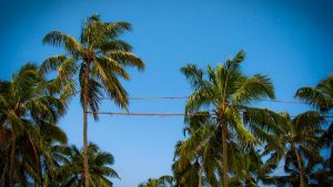 Coconut Trees by xcreamer