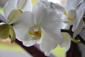 Pure white orchid for my friend Leni Birthday by A1Z2E3R