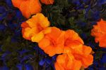 Orange-Blue Composition by florapixxa