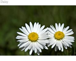 Daisy 1.1 by DL-Photography