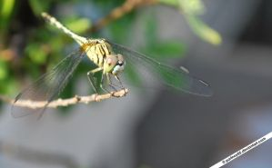 Yellow dragonfly by portnoy05