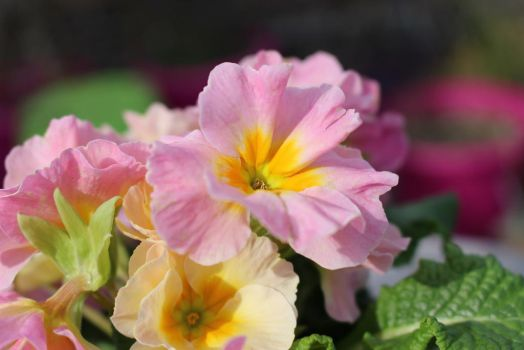 Pale Pink Primula by KassandreSilencieuse