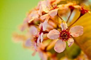 Purple Bird Cherry by Patheme