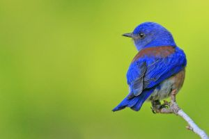 Western Blue Bluebird by davidisinla