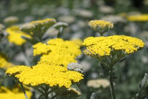 Yarrow by CASPER1830