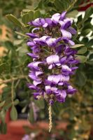 Texas Mountain Laurel by swimagain