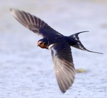 Eurasian Swallow by Jamie-MacArthur