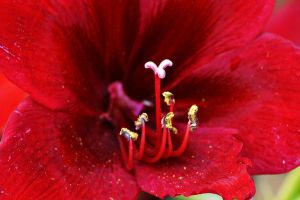 Closeup of red lily flower by a6-k