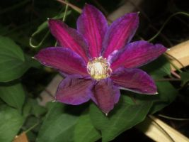 beautiful clematis by idamotalove