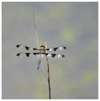 Twelve-Spotted Skimmer by Pinedrop