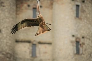 Red Kite by tuAlly