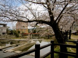 Cherry Blossoms in Sasebo by Elliums