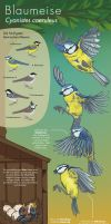 Info Graphic: Blue Tit by Antihelios