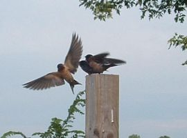 Mother And Fledgling Barn Swallows, Take Two by Kajm