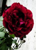 Red Rose by oceanstarr