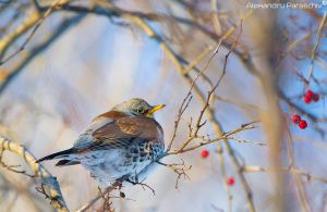 Fieldfare by AlecsPS