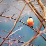 Bullfinch by anxiri