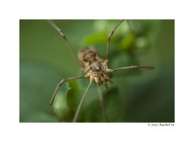 Harvestman I by butterfly36rs