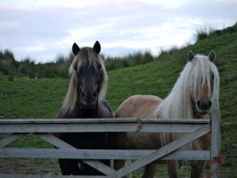 Highland Ponies by celtes